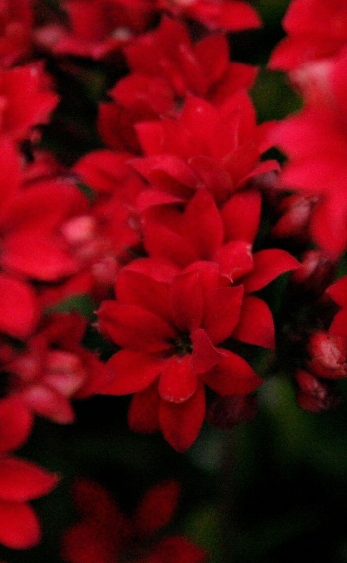 red wallpaper for iphone flowers