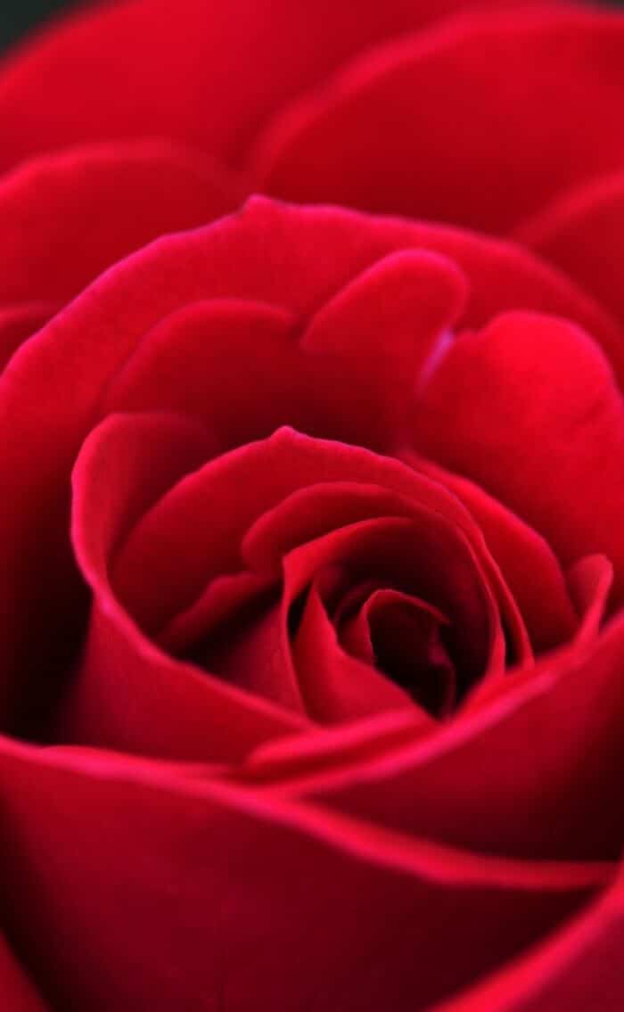 red wallpaper for iphone rose